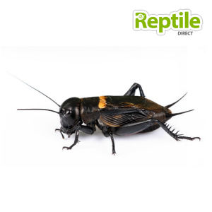 Extra Large Black Crickets Bulk