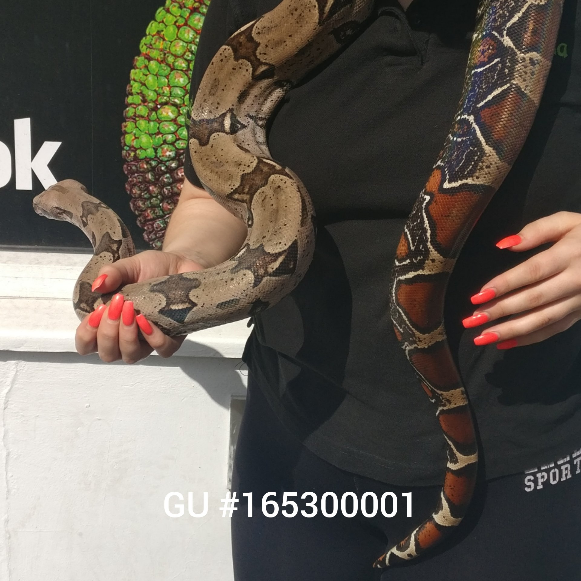 Guyana Red Tail Boa Constrictors (Proven pair)