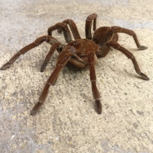 Theraphosa stirmi (Goliath Bird Eating Tarantula)