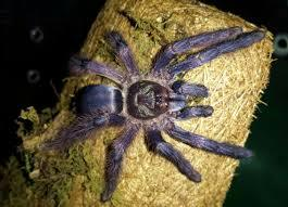 Purple Tree Spider (Tapinauchenius violaceus)