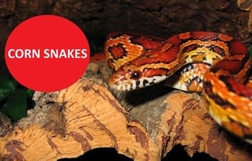 cmspages-Corn-Snake