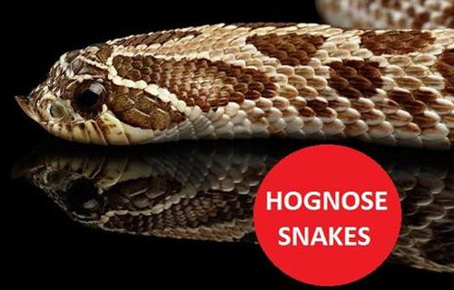 cmspages-hognose_snake