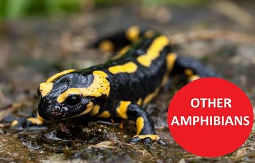 cmspages-other_amphibians
